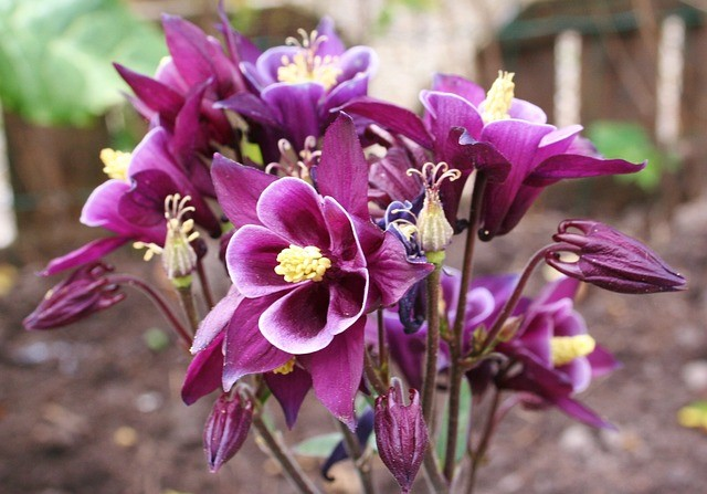 Aquilegia Growing tips