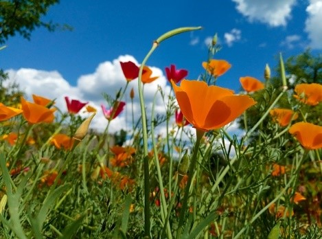 Eschscholzia (Californian Poppy) Growing tips