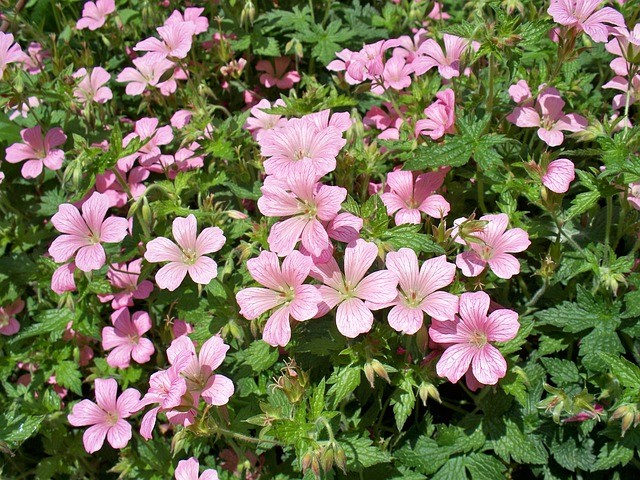 Hardy Geranium (Cranesbill) Growing tips
