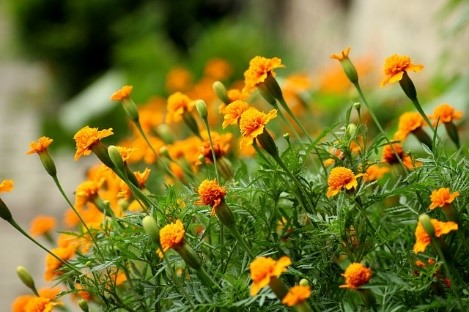 Marigold Growing tips