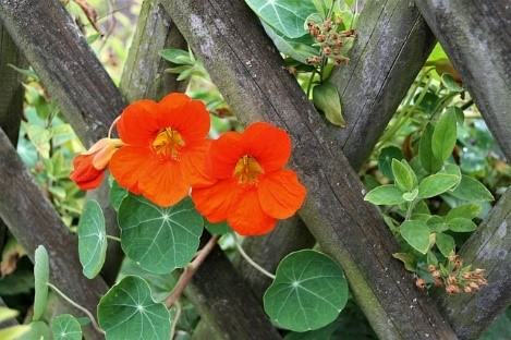 Nasturtium Growing tips