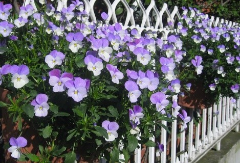 Pansy Growing tips