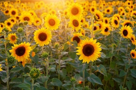 Sunflowers Growing tips