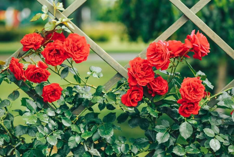 Climbing Roses - Different Types of Roses with Names and Pictures