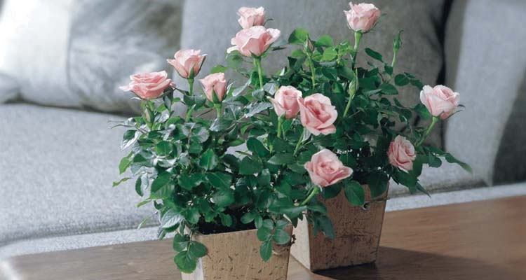 Miniature Roses - Different Types of Roses with Names and Pictures