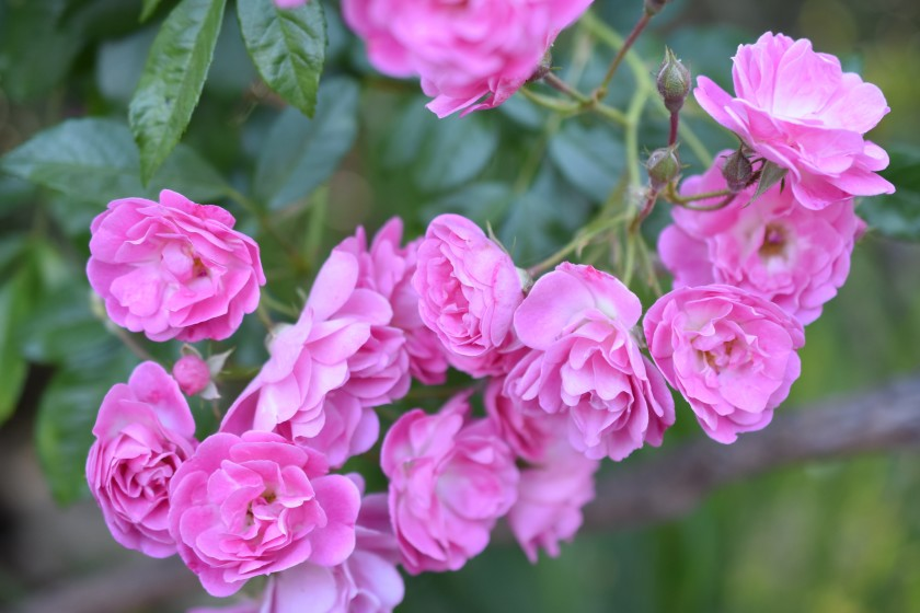 Old Garden Roses - Different Types of Roses with Names and Pictures