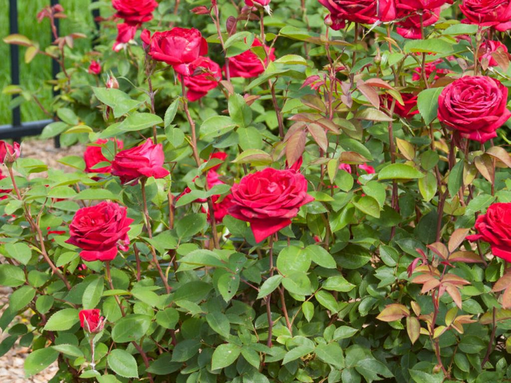 Shrub Roses - Different Types of Roses with Names and Pictures