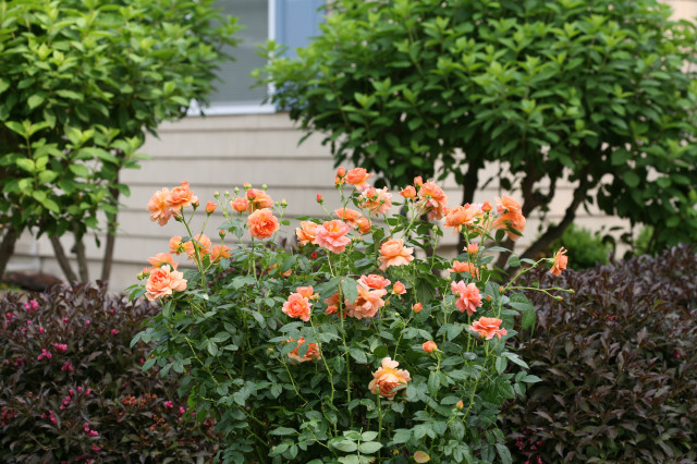 Landscape Roses - Different Types of Roses with Names and Pictures